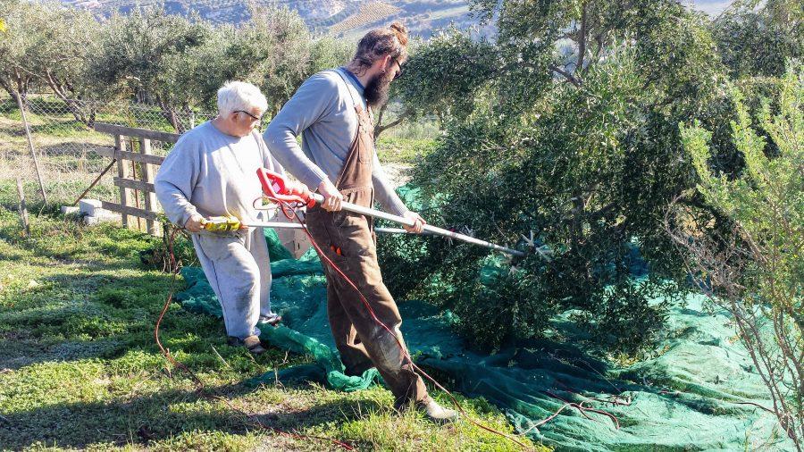 Colhendo azeitona na grécia