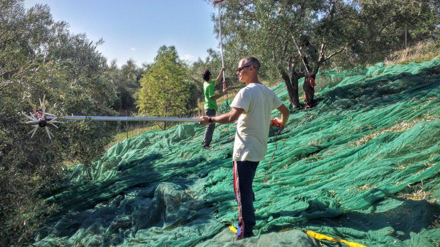 Colhendo azeitona em Creta na Grécia